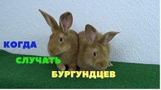 В каком возрасте и при какой массе случать бургундских кроликов