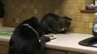 dog steals cat food, dog stealing cat food, dog steals cats food, dog stealing food