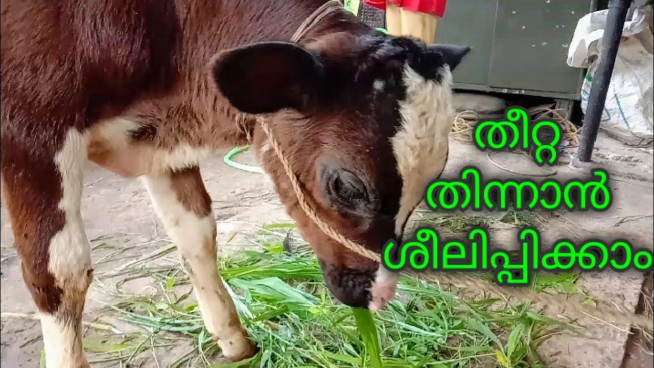 പശുക്കുട്ടികളെ തീററ എടുക്കാൻ ശീലിപ്പിക്കാം  HF calf  farming Malayalam santhinis kitchen and farming