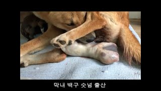 Mother's Jindo Dog to help the delivery of her daughter - Birth of Jindo Dog, birth of Jindo