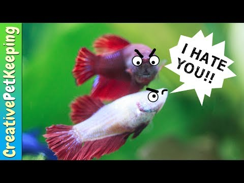 How To Keep Female Betta Fish From Killing Each Other | Fish Fan Friday