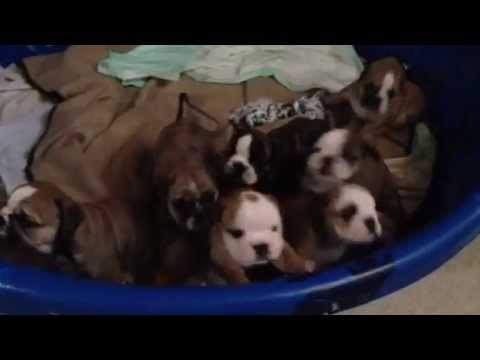6 Week Old English Bulldog Pups