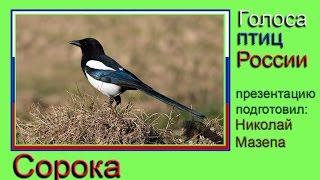 Сорока. Голоса птиц России