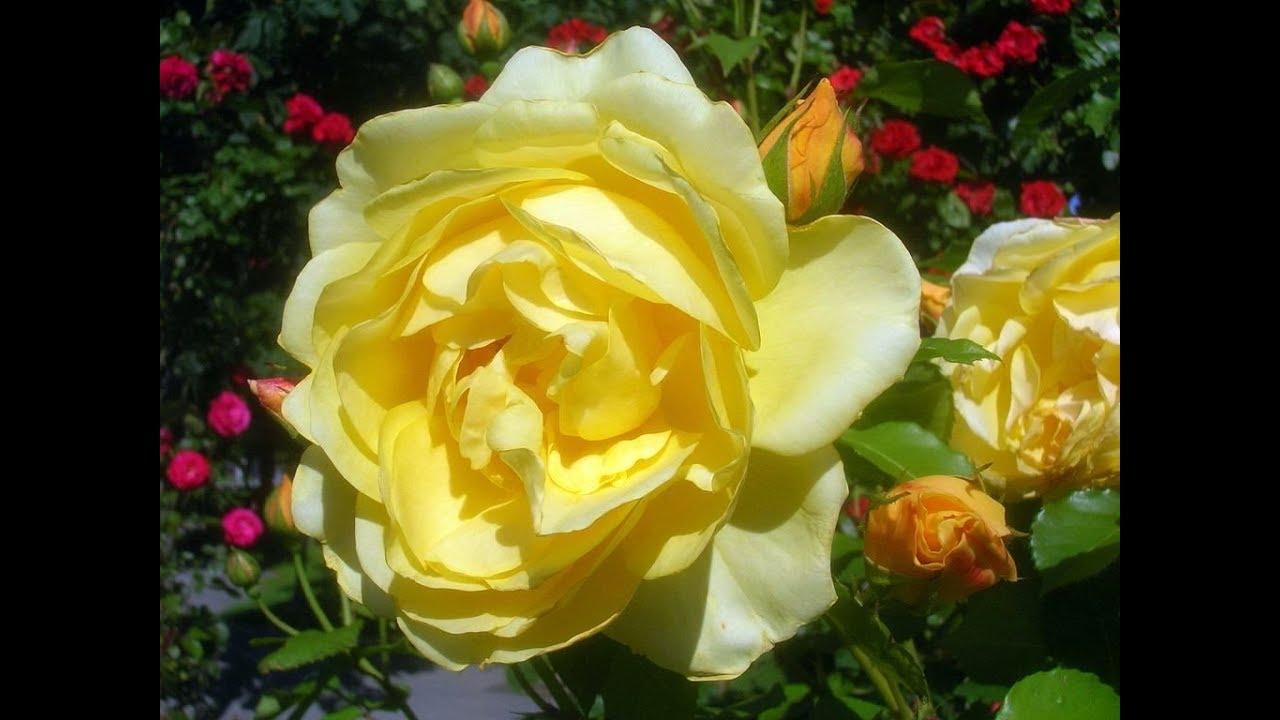 Amazing and most beautiful rosa graham thomas flowers youtube amazing and most beautiful rosa graham thomas flowers thecheapjerseys Images
