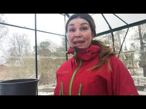 Första 3 tidigaste sådderna i växthuset kallväxthuset eller odlingstunnel Odla effektivt Vintersådd