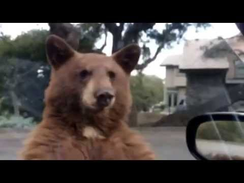 Bear in Monrovia CA 2015 B