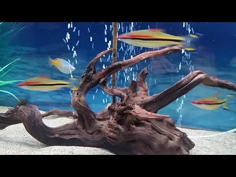 How To Prepare Driftwood For Aquarium. Making Driftwood Safe For Fish Tank Use