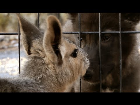 Maras meet Wolf pup in their new sunny outdoor play pen ~ BIG rodents