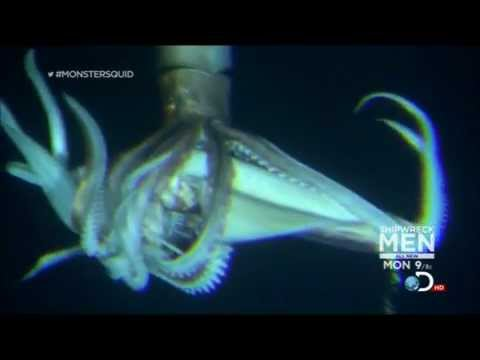 Giant Squid Size Pictures Video