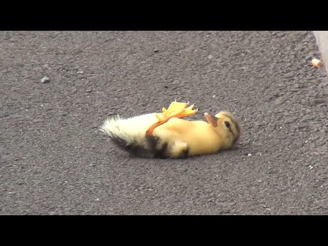 Duck lose their baby – you will cry 😢 (… but we saved the baby 😉👍)