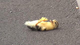 "Duck lose its baby - you will cry 😢😭 - ""Ugly Duckling"" 😪😪"