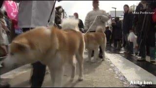 Akita dog Akita dog is a large breed of dog originating from Akita ...