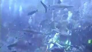 Shark Feed Dive - Great Barrier Reef Australia