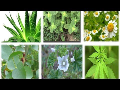 10 Plantas Medicinales Fácil de Plantar que Debes Tener dentro de Tu Hogar que Curan Casi todo
