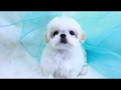 WHITE IMPERIAL SHIH TZU PUPPIES CALIFORNIA, WHITE SHIH TZU PUPPIES TEXAS, WHITE IMPERIAL SHIH TZU FL