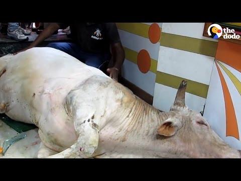 People Rush To Help Bull Who Fell Through Glass Window