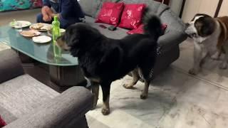 Maya, Marshal and Charlie - Adult St Bernard, Tibetan Mastiff - Afraid of Husky Puppy