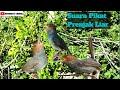 Nih Dia Suara Pikat Burung Prenjak Untuk Panggilan Prenjak Liar  Mp3 - Mp4 Download