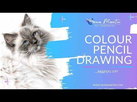 Colour Pencil Pet Portrait of Ragdoll cat Pierre