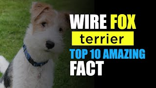 Wire Fox Terrier Dog breed Top amazing fact 2020