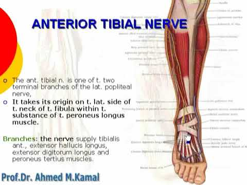 106 anterior tibial nerve | lower limb | anatomy by Dr Ahmed kamal ...