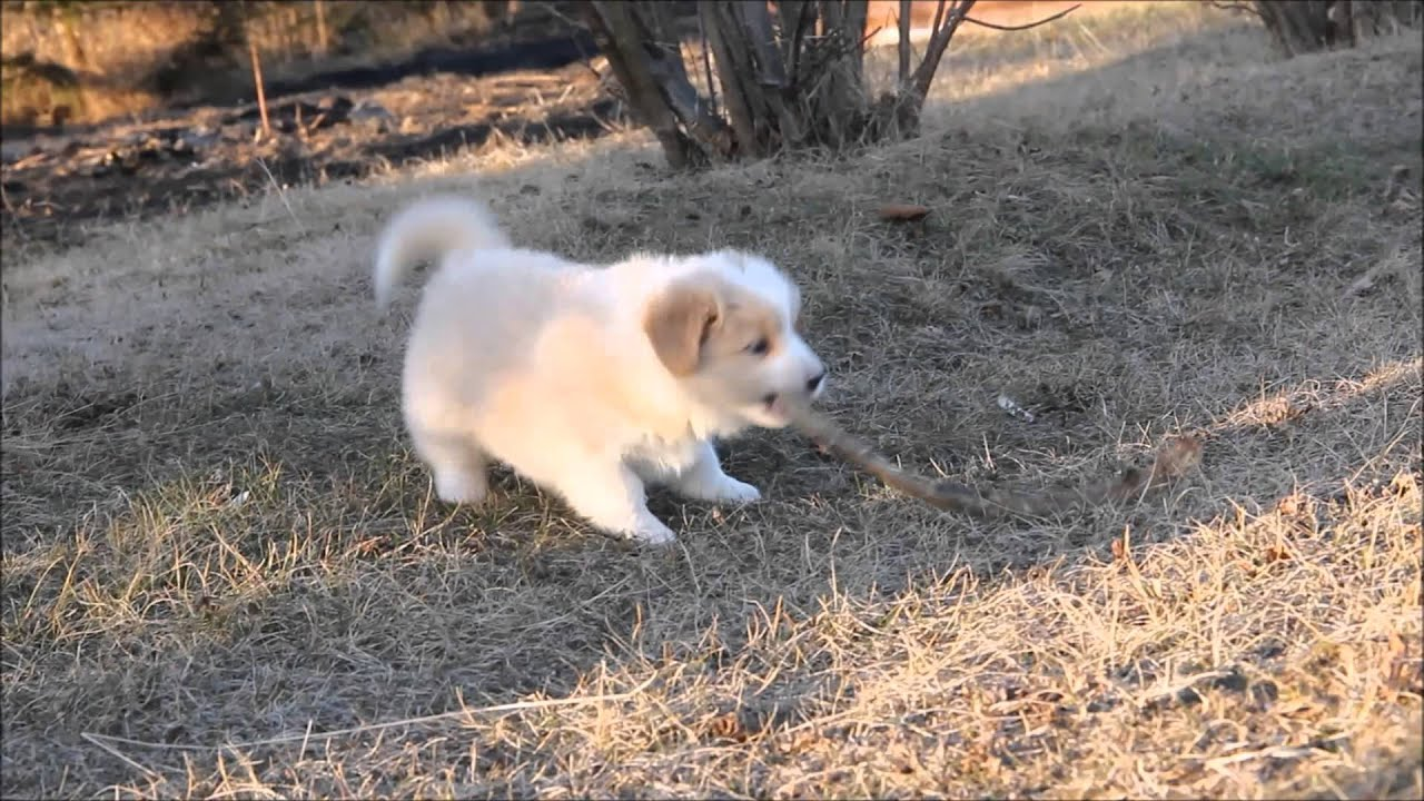 Puppies Border Collies Ee Red Youtube