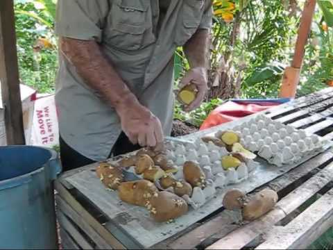 Potatoes Above The Ground Reality For A Dream An Expat Philippines Foreigner Lifestyles Video