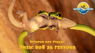 Истории про Уганду: Змеи - бой за геккона