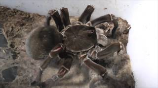 Tarantula feeding video 4