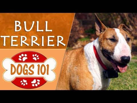 Dogs 101 - BULL TERRIER - Top Dog Facts About the BULL TERRIER