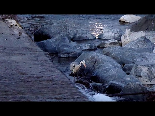 Heron at the Salmon Ladder in Hawick - Short clip