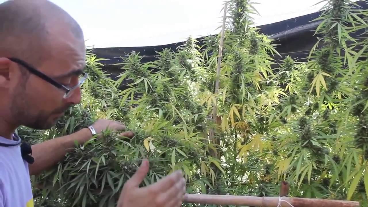 marihuana al natural 12 jard n de sativas youtube
