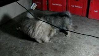 Pomeranian Pups For Sale Batangas Philippine