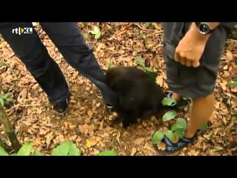 Floortje Dessing knuffelt gorilla's in Gabon - RTL TRAVEL