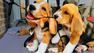 BEAGLE PUPPIES PLAYING!! 8 Week Old Beagle Puppy Compilation