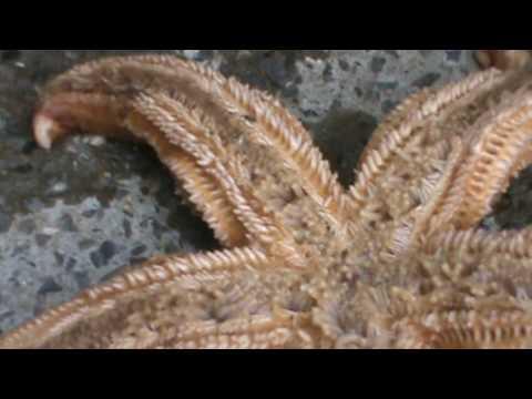 GIANT STARFISH ! BIG STAR FISH IS HUGE! MAINE OCEAN