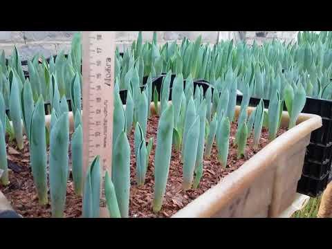 Выгонка тюльпанов на 14 февраля. 19 января