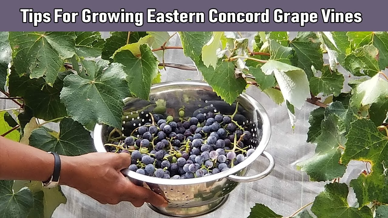 Tips For Growing Eastern Concord Grape Vines Youtube