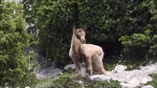 Parco Majella, due nuovi nati nell'area faunistica del Camoscio appenninico di Lama dei Peligni.