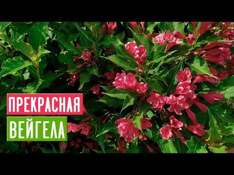 ВЕЙГЕЛА 🌺 Особенности ухода и выращивания/ Садовый гид