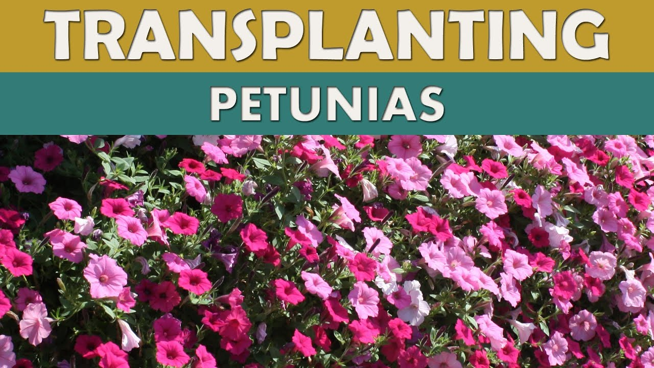 How to grow petunia from seeds - Growing Petunias Planting Plug Plants