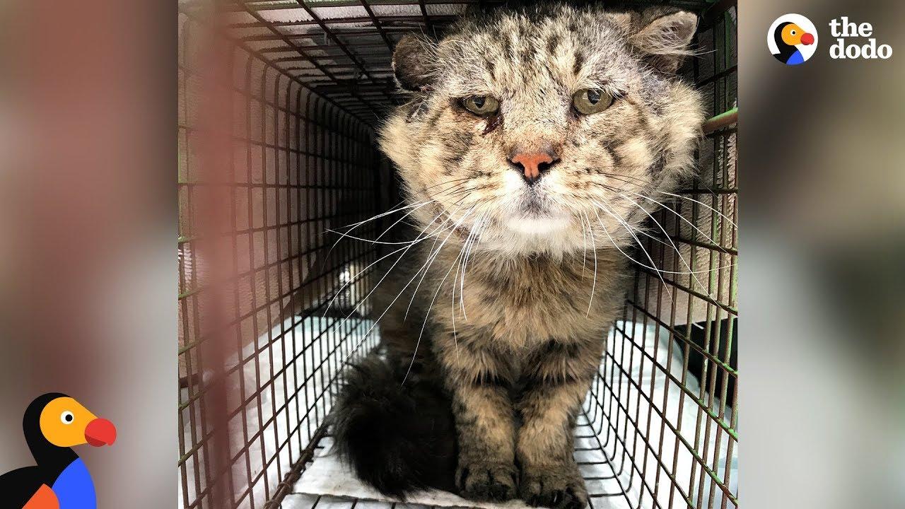 Feral Senior Cat Becomes A Total Mama's Boy - MR  BELVEDERE | The Dodo