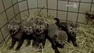 Cheetahs Cubs  at Japan Zoo
