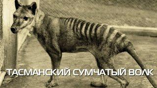 Тасманский сумчатый волк. Описание вида, фото