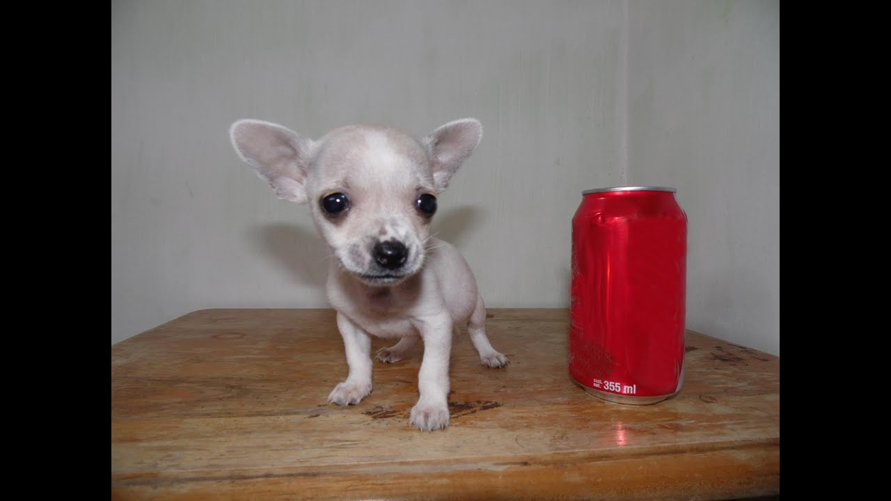 Chihuahua Hembra Blanca Venta De Perros Chihuahua Mini Toy Youtube
