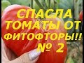 ЭТОТ СУПЕР СПОСОБ СПАС МНЕ УРОЖАЙ ТОМАТОВ ОТ ФИТОФТОРЫ 2 !!!