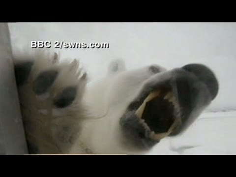 Caught on Tape: Cameraman Comes Nose-to-Nose with Dangerous Polar Bears
