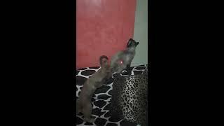 Les aventures de Maviş et Fistik 🐈🐶 Maviş  #funny #dog  #cat #Siamese #video #friends