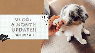 Australian Shepherd Blue Merle Puppy  6 Month Growth Update!