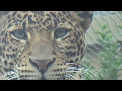 Amur Leopard (Panthera pardus orientalis) Prague Zoo נמר אמור | סיבירי
